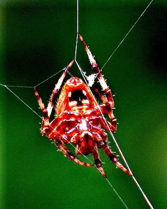 Spiders Art Print featuring the photograph Spider Weaving by David Syers
