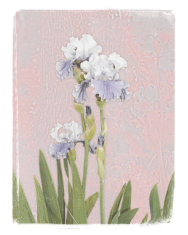Flowers Garden Beautiful Old Iris Art Print featuring the photograph Iris 2 by Inesa Kayuta