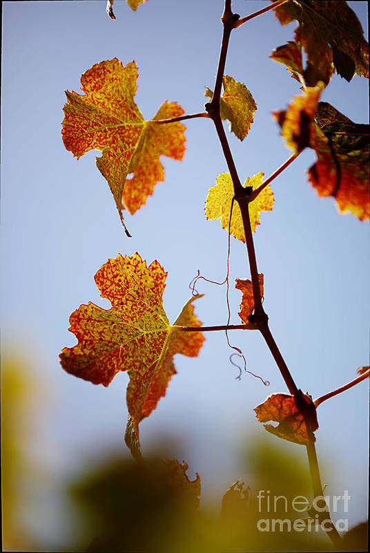 Grapes Art Print featuring the photograph Autumn Grapevine by Dry Leaf
