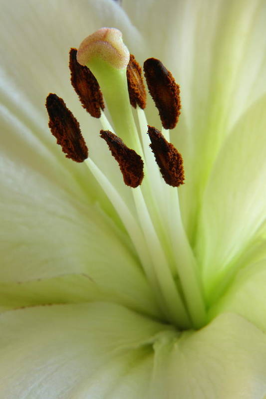 Lily Art Print featuring the photograph Lily 2am-114584 by Andrew McInnes