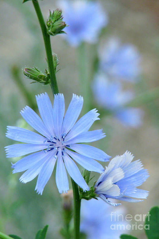 Chicory Art Print featuring the photograph Chicory by Frank Townsley