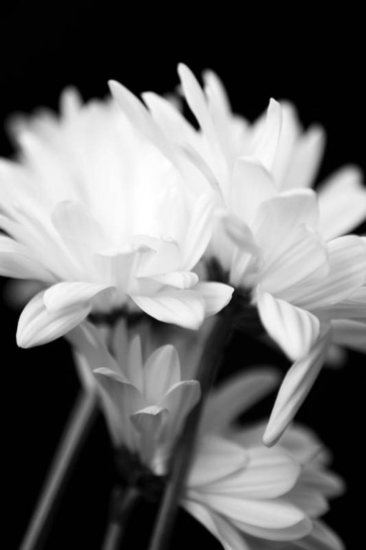 Floral Art Print featuring the photograph Daises In Black And White by Ayesha Lakes