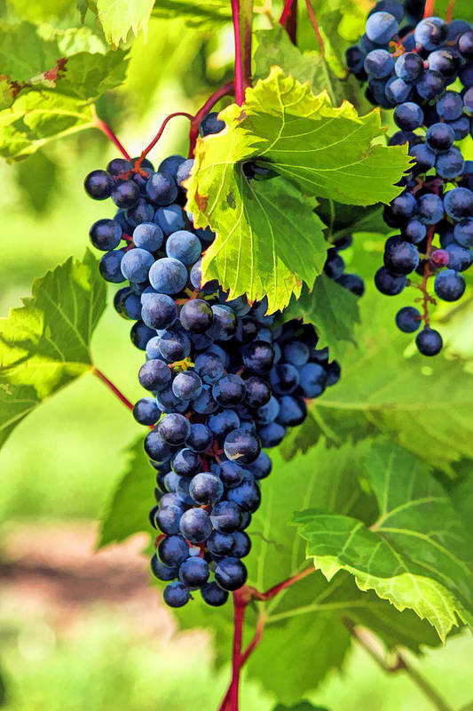 Grapes Art Print featuring the painting Door County Grape Cluster by Christopher Arndt