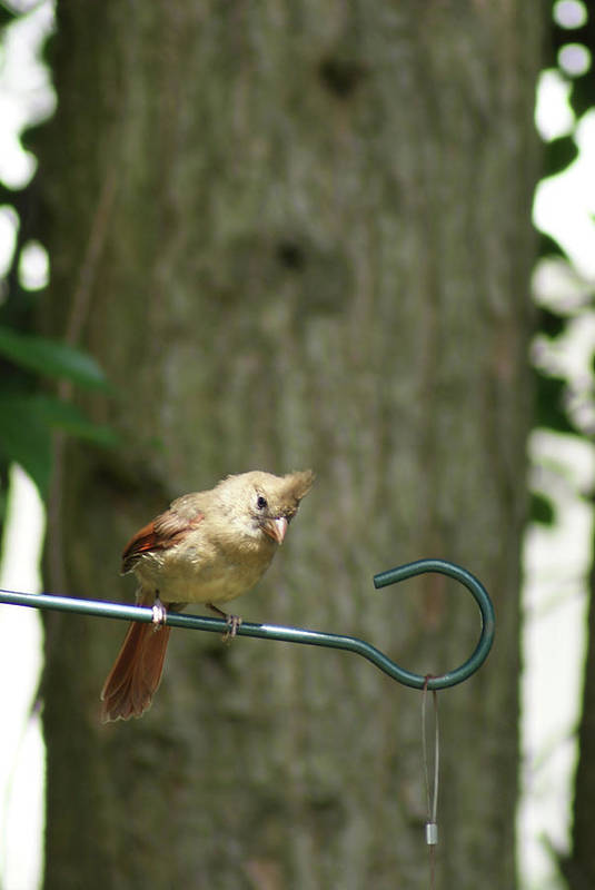American Red Cardinal Art Print featuring the photograph Fledgling Cardinal by Margie Avellino
