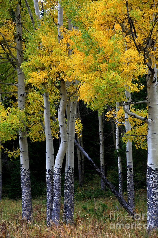 Aspens Art Print featuring the photograph Leaning Aspen by Timothy Johnson
