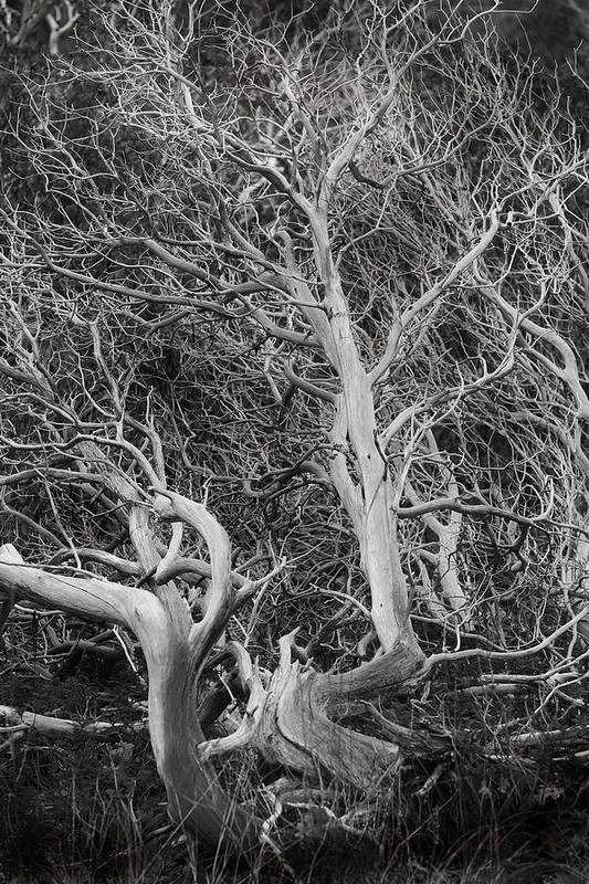 Trees Art Print featuring the photograph Tree Near Wawona by Jim Dohms