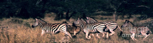 Zebras Art Print featuring the photograph Zebra Stampede by Charlie Russell