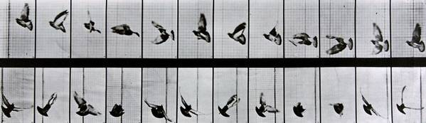 Muybridge Art Print featuring the photograph Flying Bird by Eadweard Muybridge