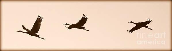 Flying Sandhill Cranes Art Print featuring the photograph Soaring Sandhills Silhouette by Carol Groenen