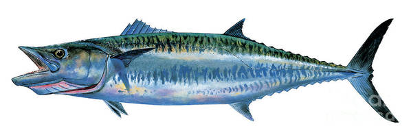 Kingfish Art Print featuring the painting King Mackerel by Carey Chen