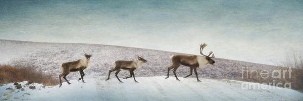 Animal Art Print featuring the photograph Three Caribous by Priska Wettstein