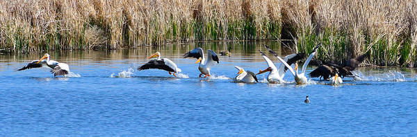 Pelicans Art Print featuring the photograph American White Pelicans by Greg Norrell