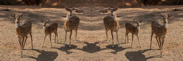 Deer Art Print featuring the photograph Deer Symmetry by Douglas Barnard