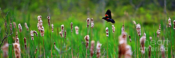 Sun Art Print featuring the photograph Flying Amongst Cattails by James F Towne