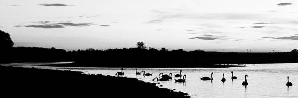Swans Art Print featuring the photograph Swans At Sunset by Jeff Singer