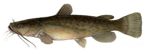 Flathead Catfish Art Print By Carlyn Iverson