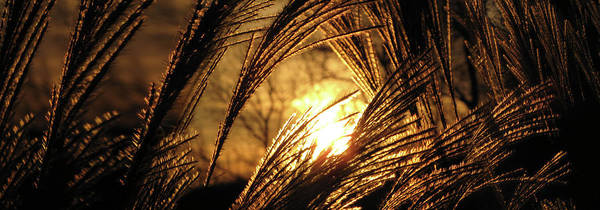 Sunset Art Print featuring the photograph Sun In Grass Panoramic by Amy Tyler