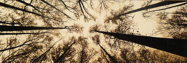 Trees Art Print featuring the photograph Looking Up by Jack Paolini
