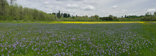 Field Of Camas & Western Buttercup; Meadow Of Purple & Yellow Wildflowers; Spring Wildflowers; Horiz Art Print featuring the photograph Field Of Camas And Western Buttercup by John Higby