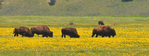 Bison Heard Art Print featuring the photograph Bison Herd by Alan Lenk
