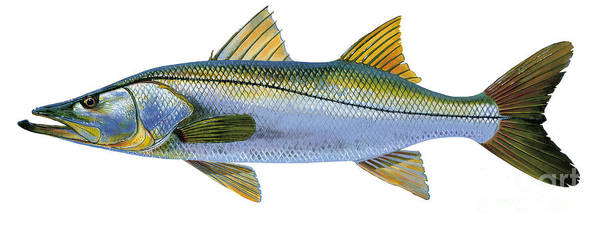 Snook Art Print featuring the painting Snook by Carey Chen
