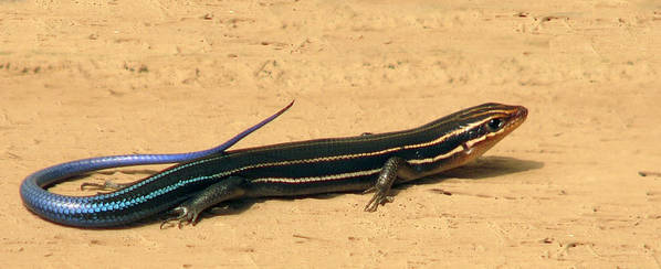 Animal Photography Art Print featuring the photograph Black Beauty. Five Lined Skink. by Chris Kusik