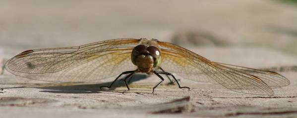 Dragonfly Art Print featuring the photograph Dragonfly by Lori DeBruijn