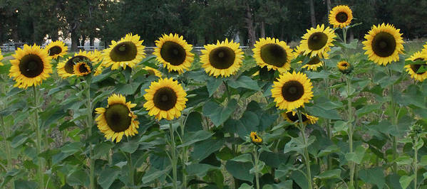 Flowers Art Print featuring the photograph Sunflowers by Wendy Raatz Photography