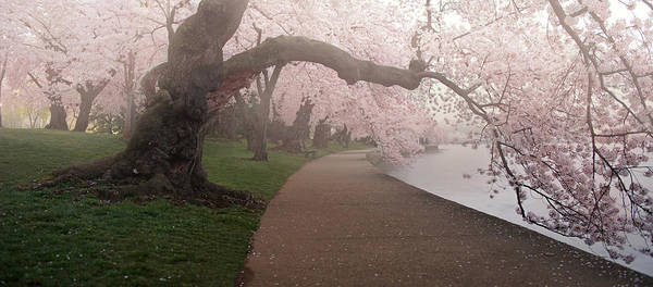 National Cherry Blossom Festival Art Print featuring the photograph A Morning To Remember by Bernard Chen