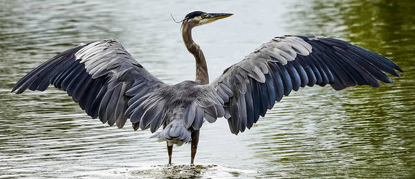 Art Print featuring the photograph Great Blue Heron by Brian Stevens