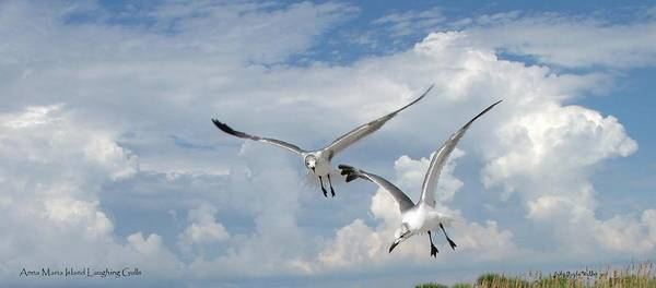Flying Art Print featuring the photograph Anna Maria Laughing Gulls by Judy Waller