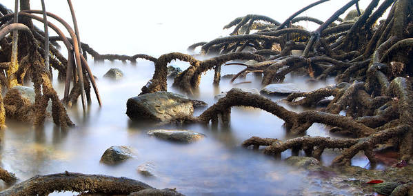 Mangrove Tree Print featuring the photograph Mangrove Tree Roots by Dirk Ercken