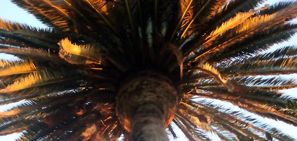 Palm Art Print featuring the photograph Palm Tree Canopy 0558 by Edward Ruth