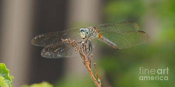 Dragonfly Art Print featuring the photograph Dragonfly by Megan Cohen