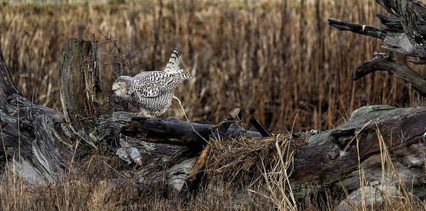 Canada Art Print featuring the photograph Birds Of Bc - No.13 - Snowy Owl Doo Doo by Paul W Sharpe Aka Wizard of Wonders
