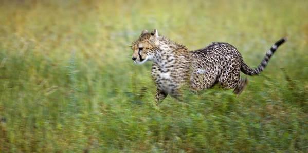Acceleration Art Print featuring the photograph Cheetah Acinonyx Jubatus, Running by Carson Ganci