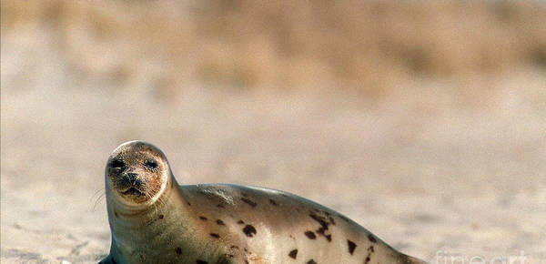 Seals Art Print featuring the photograph Juvenile Harp Seal Basking In The Sun by Matt Suess
