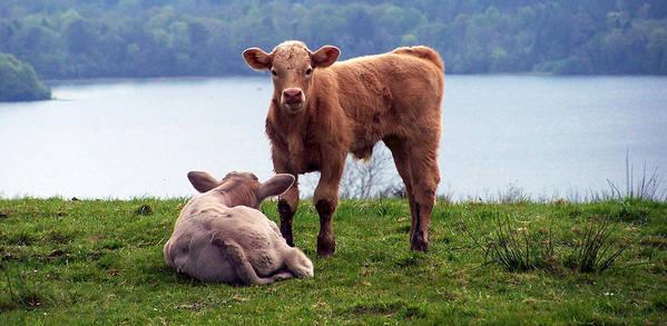 Ireland Art Print featuring the photograph Irish Calves At Lough Eske by Teresa Mucha