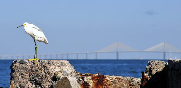 Panoramic Photography Art Print featuring the photograph Snowy Egret And Sunshine Skyway Bridge by David Lee Thompson