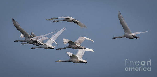 Swan Art Print featuring the photograph Whooper Swans In Flight by Philip Pound