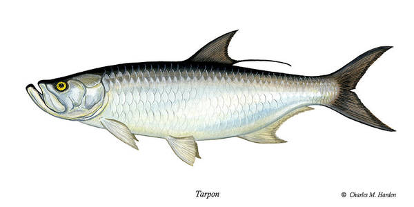 Charles Art Print featuring the painting Tarpon by Charles Harden