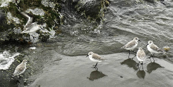 Birds Art Print featuring the photograph Shore Birds by Frank Winters