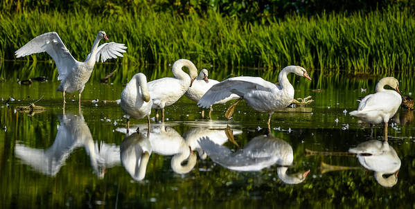 Art Print featuring the photograph Y-m-c-a Swans by Brian Stevens