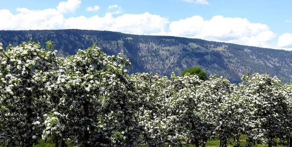 Apple Blossoms Print featuring the photograph Apple Blossoms by Will Borden