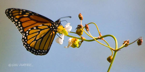 Monarch Art Print featuring the photograph Favorite Flower by Don Durfee