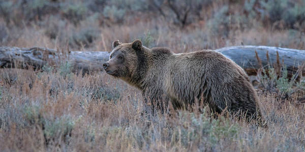 Bear Art Print featuring the photograph Five O'clock In Autumn by Yeates Photography