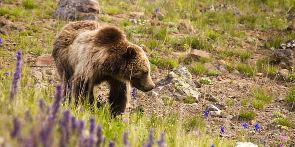 Grizzly Bear Art Print featuring the photograph Grizzly Hill by Chad Davis