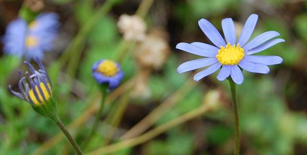 Daisy Art Print featuring the photograph Little Blue Daisies by Jean Booth