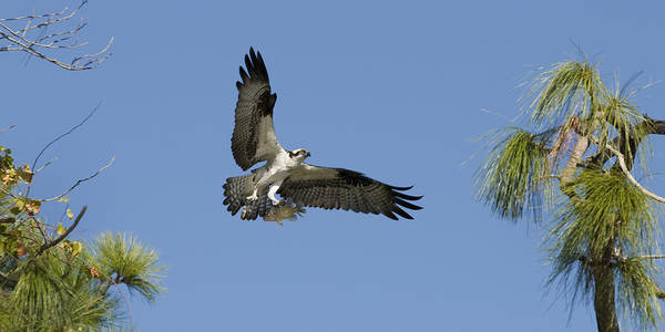 Bird Art Print featuring the photograph Osprey With Fish by Chad Davis