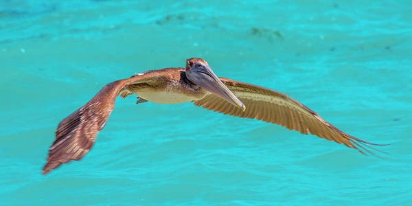 Key Art Print featuring the photograph Southern Most Pelican by Betsy Knapp
